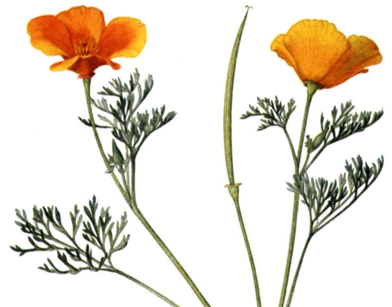 California poppy liquid extract harmony herbals california poppy liquid extract mightylinksfo